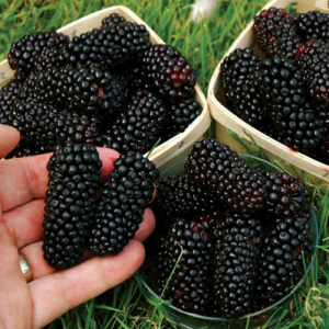 100pcs Nutritious Giant Thornless Blackbeery Seeds Antioxidant Fiber Healthful For $0.99 At Ebay.com