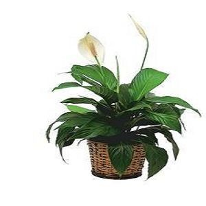 Small Spathiphyllum Plant - Deluxe $47.66.